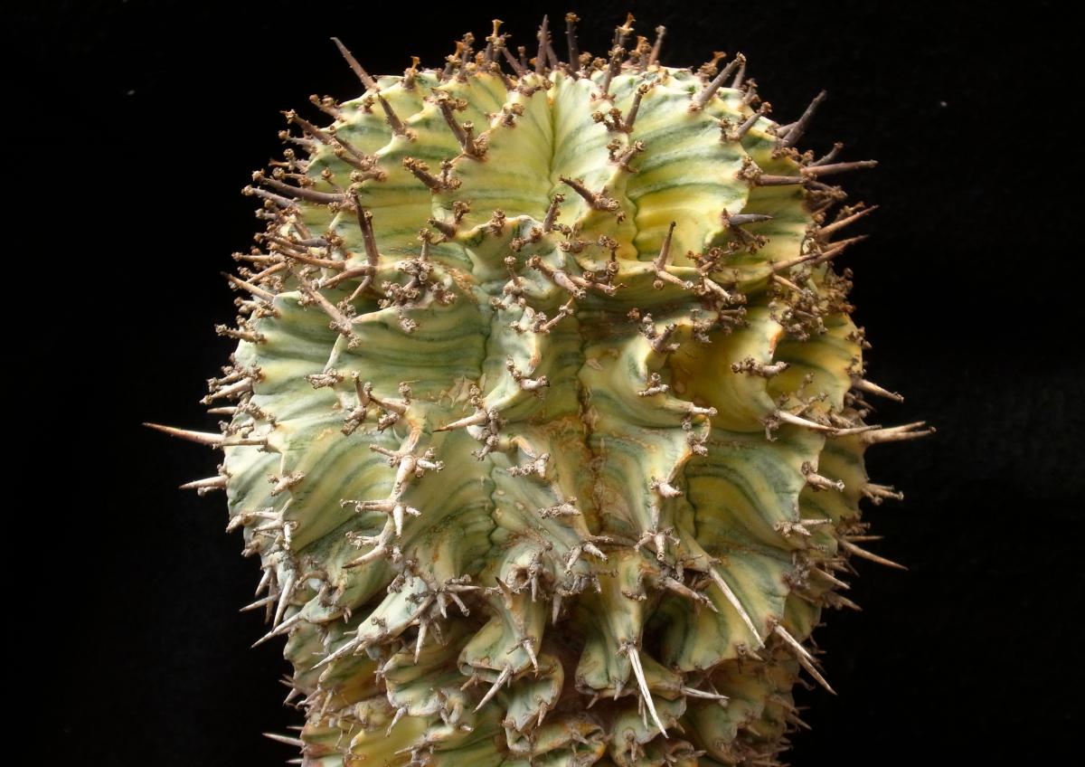 Euphorbia horrida variegated