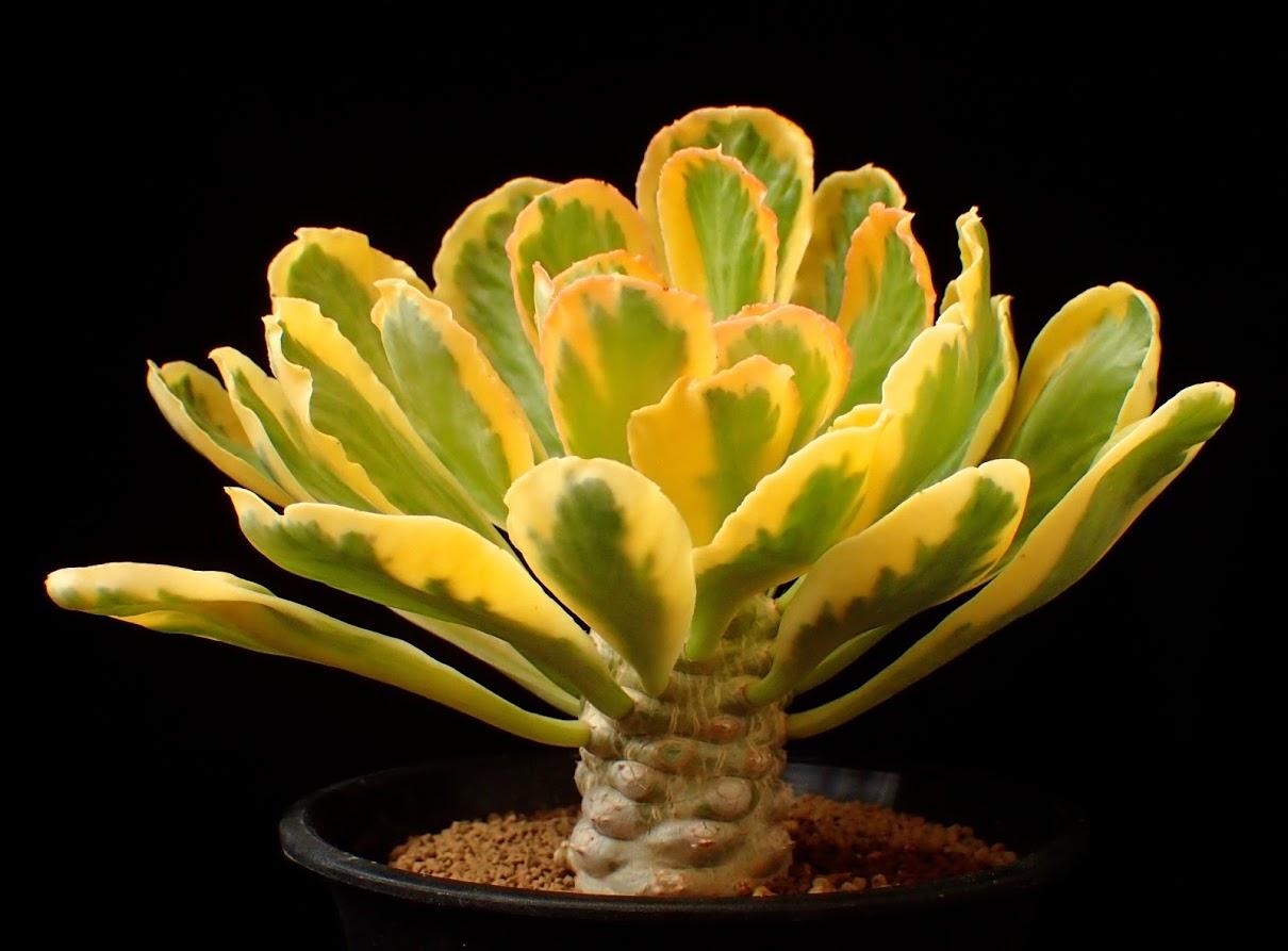 Euphorbia poissoni variegated
