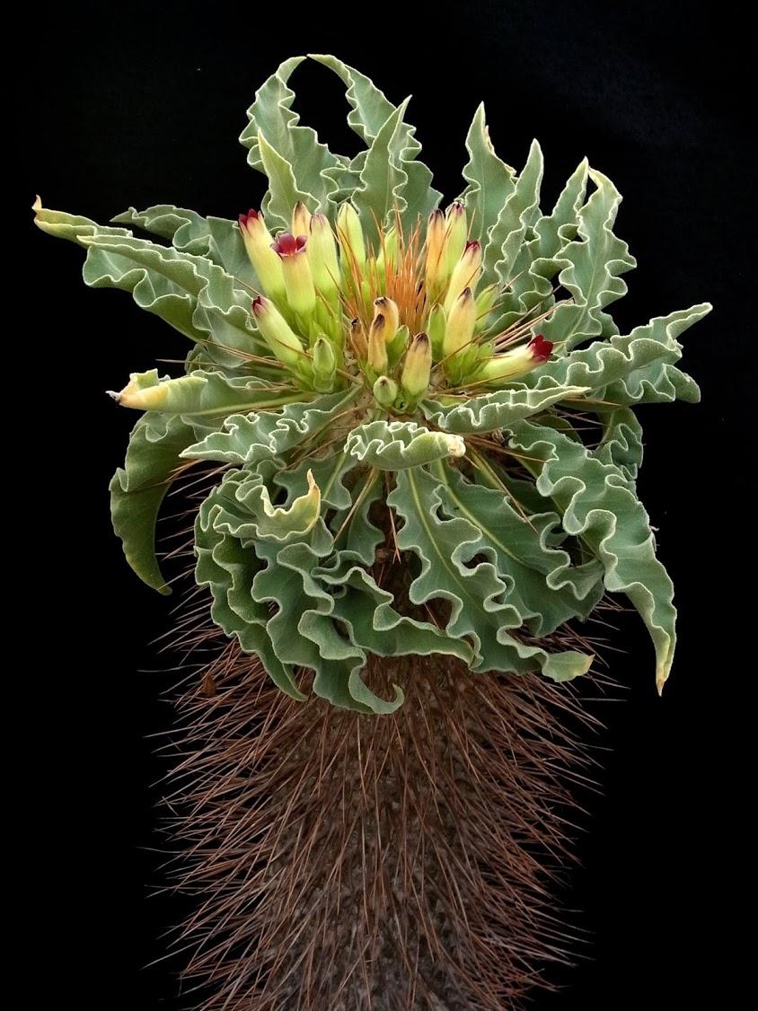 Pachypodium namaquanum4